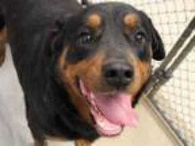 Adopt PERLA a Black - with Tan, Yellow or Fawn Rottweiler / Mixed dog in Fort