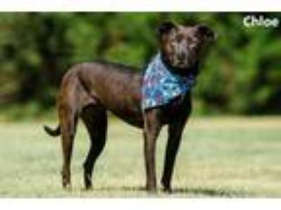 Adopt Chloe a Black American Pit Bull Terrier / Labrador Retriever / Mixed dog