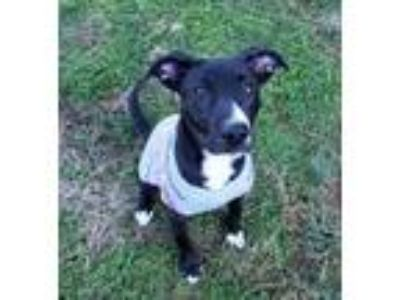 Adopt Chessie a Black - with White Labrador Retriever / Terrier (Unknown Type