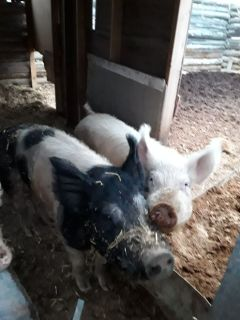 Yorkshire mix breeder pigs
