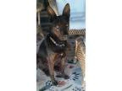 Adopt Brody a German Shepherd Dog, Dutch Shepherd