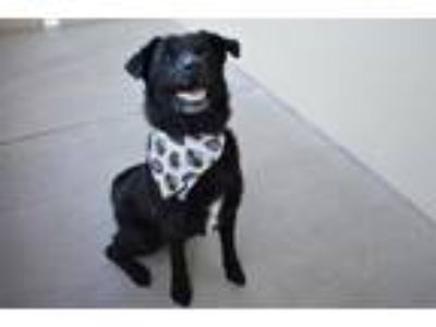 Adopt Jack a Black Labrador Retriever / Mixed dog in McKinney, TX (25942669)