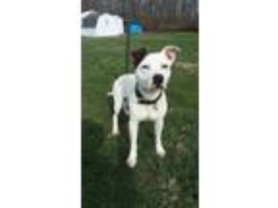 Adopt milo a White - with Brown or Chocolate American Pit Bull Terrier / Mixed