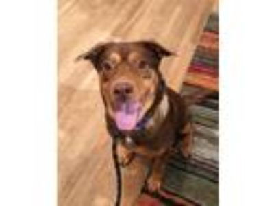 Adopt Jesse a Brown/Chocolate - with Tan Shepherd (Unknown Type) / Husky / Mixed