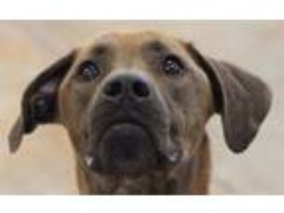 Adopt Koda a Brown/Chocolate Retriever (Unknown Type) / Mixed dog in
