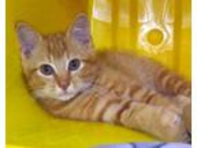Adopt Mickey a Orange or Red Domestic Shorthair / Domestic Shorthair / Mixed cat