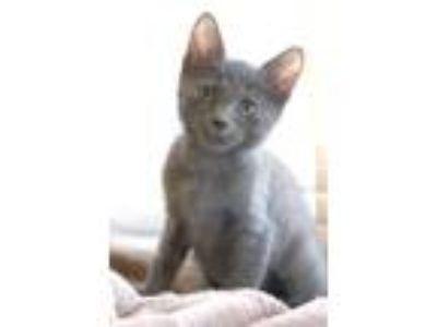 Adopt Taffy a Gray or Blue Russian Blue / Mixed (short coat) cat in Alameda