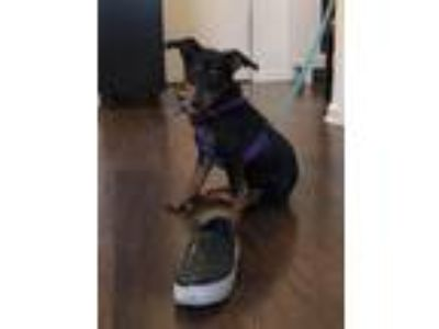Adopt Peppermint Butler a Brown/Chocolate - with Black Hound (Unknown Type) /