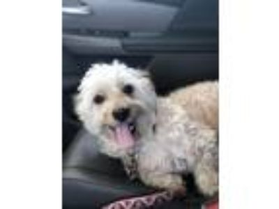 Adopt Pippin a Tan/Yellow/Fawn - with White Westie, West Highland White Terrier
