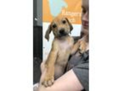 Adopt Snickerdoodle a Tan/Yellow/Fawn - with Black Catahoula Leopard Dog / Pit