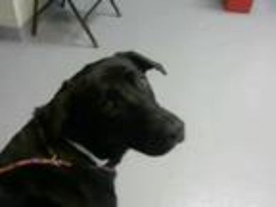 Adopt LANI a Black - with White Labrador Retriever / Mixed dog in Fayetteville