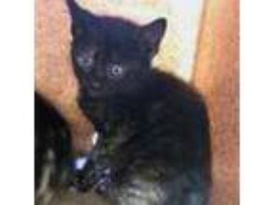 Adopt CJ a All Black Domestic Shorthair / Domestic Shorthair / Mixed cat in