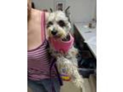 Adopt Maxy a Gray/Blue/Silver/Salt & Pepper Schnauzer (Miniature) / Mixed dog in