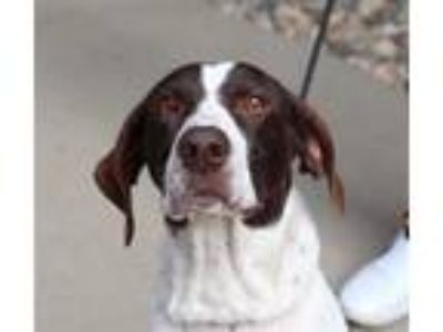Adopt Jade Marie a German Shorthaired Pointer / Mixed dog in Sioux City