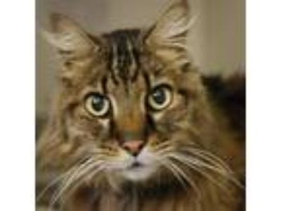 Adopt Fuzz Aldrin (mcas) a Domestic Longhair / Mixed (long coat) cat in
