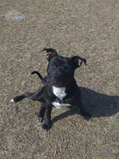 American Pit Bull Terrier DOG FOR ADOPTION ADN-64848 - Black Pit Bull Puppy Looking for His Furever Home