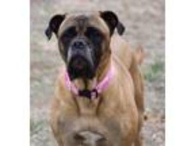 Adopt Nala 1 a Bullmastiff