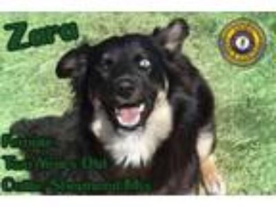 Adopt Zara a Collie, Shepherd