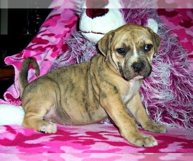 Catahoula Bulldog PUPPY FOR SALE ADN-130797 - Catahoula Bulldog Puppy Gumbo