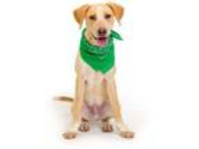 Adopt TATER a Labrador Retriever, Mixed Breed