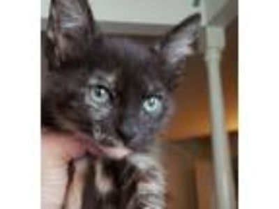 Adopt Black Widow a Tortoiseshell, Domestic Short Hair