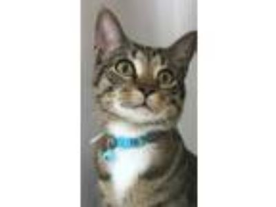 Adopt Frankie a Brown Tabby Domestic Shorthair / Mixed (short coat) cat in