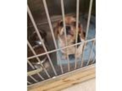 Adopt Chubby a Beagle, Wirehaired Terrier