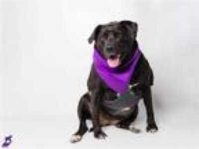 Adopt SHADOW a Black - with White Labrador Retriever / Mixed dog in Murray