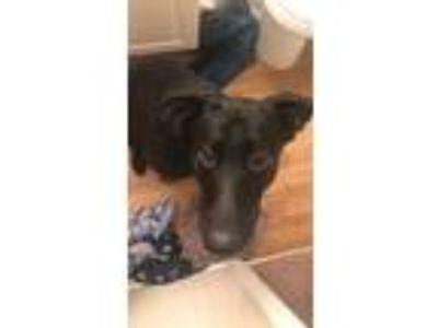 Adopt Captain a Black - with White German Shepherd Dog / Labrador Retriever /