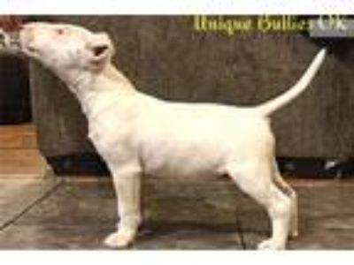 Akc female bull terrier CHAMPION LINES