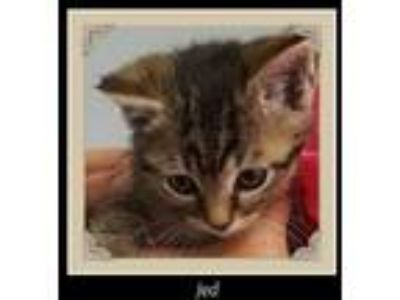 Adopt Jed a Domestic Short Hair