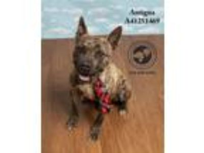 Adopt Antigua a American Staffordshire Terrier, Pit Bull Terrier