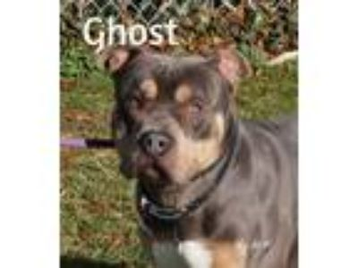 Adopt Ghost a Brown/Chocolate - with Black Pit Bull Terrier / Mixed dog in