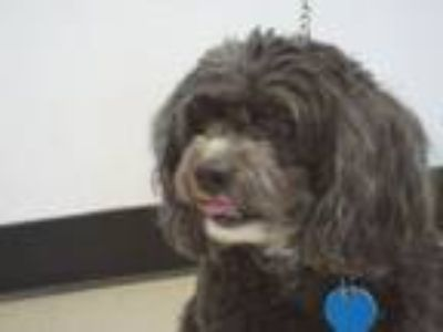 Adopt BENJI a Lhasa Apso, Poodle