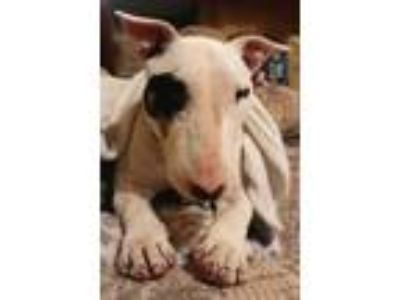 Adopt Tita a White - with Black Bull Terrier / Mixed dog in Lititz