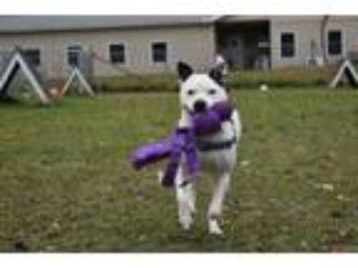 Adopt TOPANGA a Pit Bull Terrier