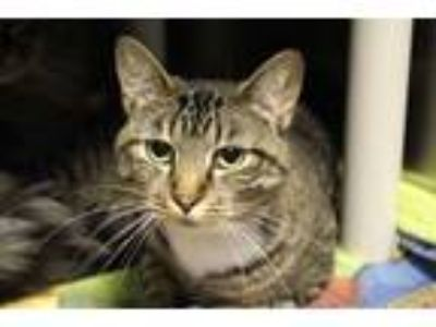 Adopt Baby Cat a Domestic Short Hair