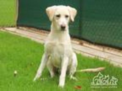 Adopt BROOKS a Tan/Yellow/Fawn Labrador Retriever / Mixed dog in Irvine
