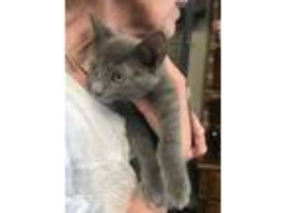 Adopt Minnie a Gray or Blue Domestic Shorthair / Mixed (short coat) cat in