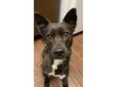 Adopt Angel a Black Labrador Retriever / Mixed dog in Riverside, CA (24757758)