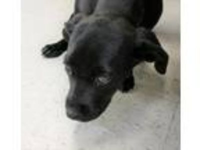 Adopt Rudy needs foster / adopter a Black Labrador Retriever / Mixed dog in west