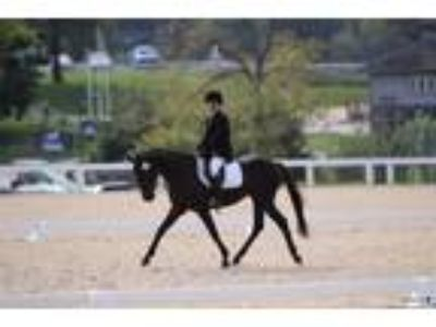 Serious Dressage Competitor Showing 1st Ready for 2nd