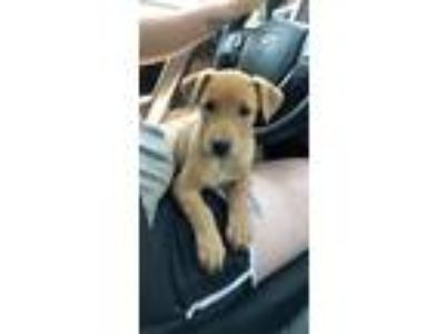 Adopt Penny a Labrador Retriever / Hound (Unknown Type) / Mixed dog in