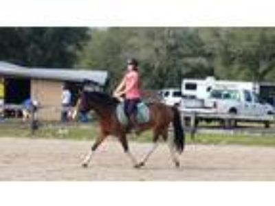 Fancy large hunter pony gelding kidfriendly division prospect For Lease