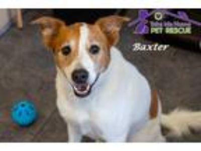 Adopt Baxter a Tan/Yellow/Fawn - with White Jack Russell Terrier / Labrador