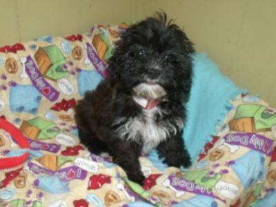 Shih-Poo PUPPY FOR SALE ADN-113770 - Brandy the Shihpoo