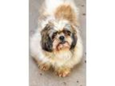 Adopt LOUIE a Shih Tzu / Mixed dog in Redwood City, CA (25640829)