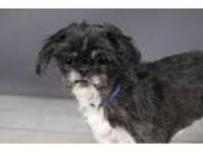 Adopt BETTY a Shih Tzu, Mixed Breed