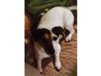 Adopt Dallas a Jack Russell Terrier