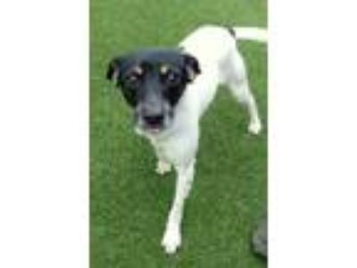 Adopt Osh Kosh a Toy Fox Terrier, Mixed Breed